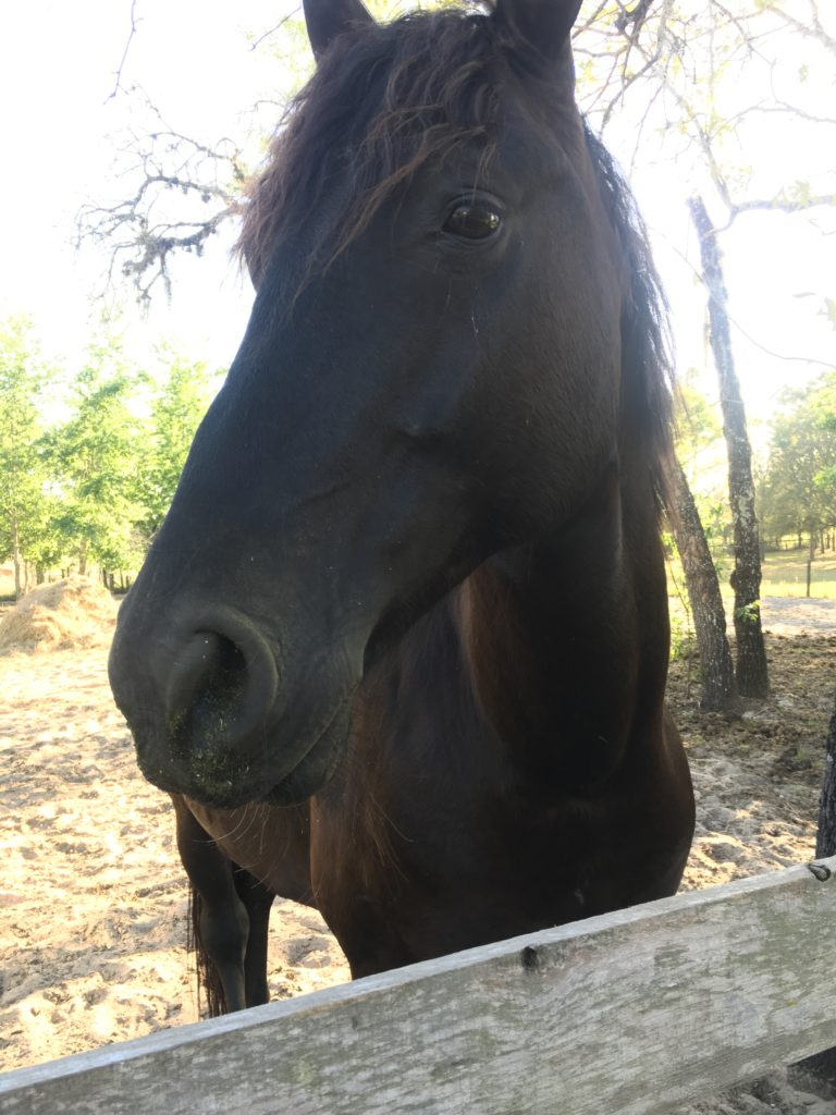 Friesian horse at the mini-farm
