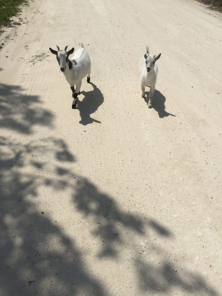 Two white goats at the mini-farm